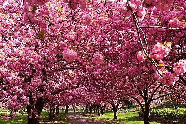 Ужгород. Цвітіння сакури