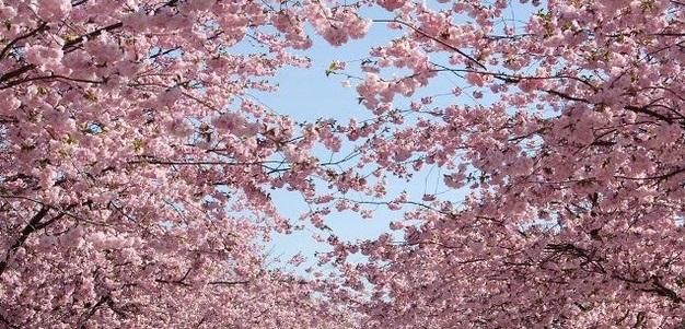 Цветение сакуры, Центральный парк Каменца-Подольского Аллея сакур